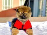 Ayı Surat Pomeranian Boo Oğlumuz