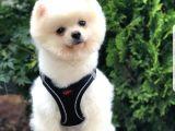 Secereli eğitimli sevimli Pomeranian