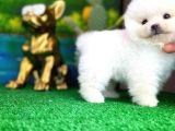 Oyuncu şirin Pomeranian Boo yavrumuz