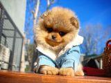 En güleryüzlü Pomeranian Boo yavru
