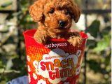 Red brown kızıl renk toy poodle yavrular @catboyssss da