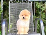 3 Aylık Microçipli Pomeranian Boo