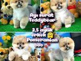 Ayı surat Teddyface Pomeranian Boo Oğlumuz Micho / Yavrupartiler
