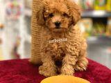 Safkan mini red toy poodle erkek yavru @catboyssss da