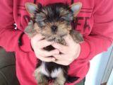 Pet pasaportlu microchipli yorkshire terrier