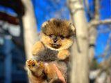 Şirinlikte Birinci Pomeranian Boo yavrumuz