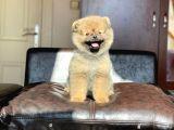 3,5 Aylık Teddy Face Pomeranian Boo Yavrumuz