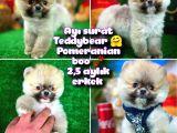 Ayı Surat TeddyBear Pomeranian Boo Oğlumuz Badem / Yavrupartiler