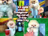 Safkan T-Cup Teddybear ayı surat Pomeranian oğlumuz Paku