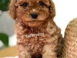 Irk ve sağlıklı garantili red toy poodle yavru @catboyssss da