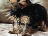 Sevimli wc eğitimli  microchipli yorkshire terrier