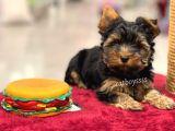 Irk ve sağlıklı garantili yorkshire terrier yavrular @catboyssss da