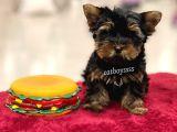 Mini yorkshire terrier erkek yavru @catboyssss da