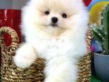 En Şirin ve oyuncu Pomeranian Boo yavrumuz