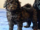 Silver black toy poodle yavrularımız @catboyssss da