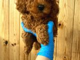 Red brown kızıl renk erkek toy poodle yavru @catboyssss da