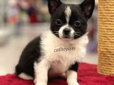 Siyah beyaz longhair erkek chihuahua yavru @catboyssss da