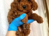Red brown toy poodle yavrumuz @catboyssss da