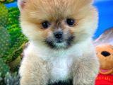 Yoğun tüy yapısına sahip Pomeranian Boo yavrumuz