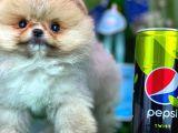Irk ve Sağlık Garantili Teacup Boy PomeranianBoo Yavrumuz/ İnstagram: pomeranianboodunyasi_