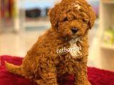 Muhteşem kalite red brown toy poodle yavrumuz