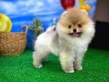 Yumuşak tüylü çok şirin Pomeranian Boo yavrumuz