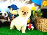 Ufak boy Pomeranian Boo Yavruları