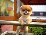 Pomeranian Sahibi Olmak Ayrıcalıktır