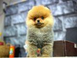 ELİTPATİCİKLER den Safkan Pomeranian Yavruları