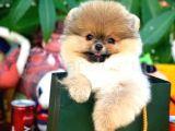 Gülen Surat Pomeranian Boo Yavrularımız