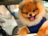 ELİTPATİCİKLER den Safkan Tuvalet Eğitimli Yetişkin Pomeranianlar