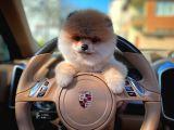 En Güzelinden Yarışma Düzeyinde Pomeranian Boo