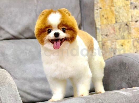Partycolour Yetişkin Pomeranian İçin İletişime geçebilirsiniz.