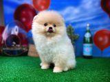 Pomeranian Boo Güzel Dostumuz