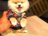 ELİTPATİCİKLER Güvencesi ile Pomeranian Sahibi Olabilirsiniz