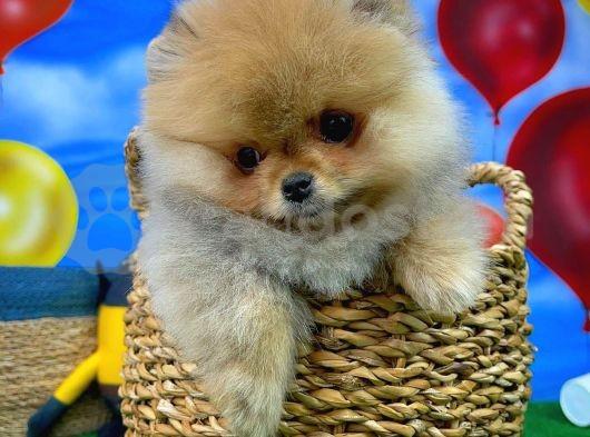 Yoğun yumuşak tüylü Pomeranian Boo yavrumuz