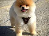 ELİTPATİCİKLER den Wc Eğitimli Yetişkin Pomeranianlar