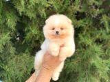 Orijinal Pomeranian Boo Mini Yavrumuz