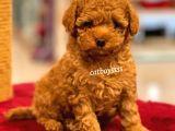 Muhteşem kalite red toy poodle yavrumuz @catboyssss da