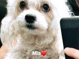 Maltese Terrier Dişi