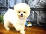 Sevimli oyuncu güzeller güzeli Pomeranian Boo kızımız