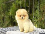 Güzellik Abidesi Pomeranian Boo Mini Yavrumuz