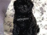Black (siyah) dişi toy poodle yavrumuz @catboyssss da