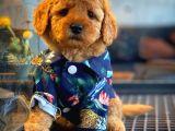 Toy Poodle Eşsiz Güzellikte