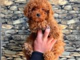 Toy poodle red brown yavrumuz @catboyssss da