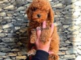 Çocuk Dostu red brown toy poodle yavrumuz @catboyssss da