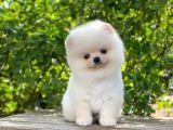 Teddy Face Beyaz POMERANİAN BOO