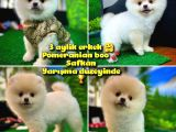 Pomeranian boo  Safkan A PLUS Yarışma Dereceli