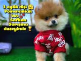 Orjinal Renk Pomeranian boo Dişi Safkan A PLUS