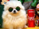 Oyuncu Yakışıklı Pomeranian Boo Oğlumuz Çapkın